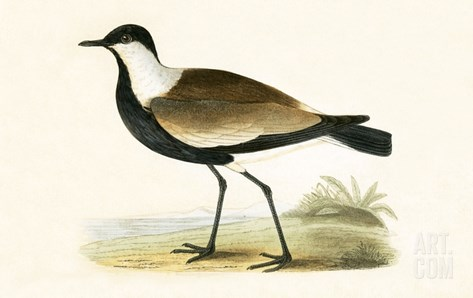 Spur Winged Plover,  from 'A History of the Birds of Europe Not Observed in the British Isles' Stretched Canvas Print