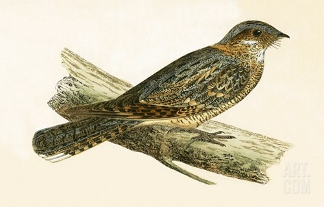 Russet Necked Nightjar,  from 'A History of the Birds of Europe Not Observed in the British Isles' Stretched Canvas Print