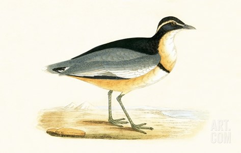 Black Headed Plover,  from 'A History of the Birds of Europe Not Observed in the British Isles' Stretched Canvas Print