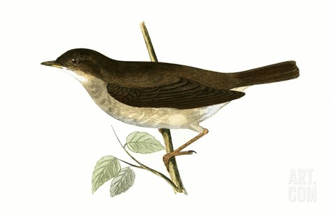 Thrush Nightingale,  from 'A History of the Birds of Europe Not Observed in the British Isles' Stretched Canvas Print