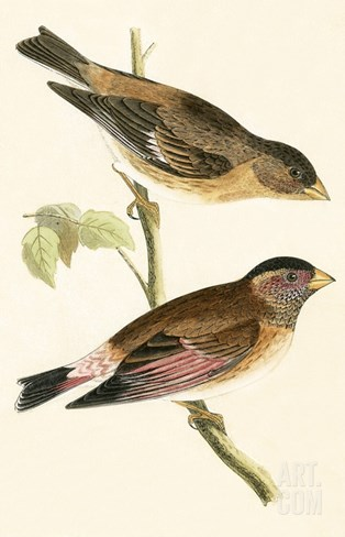 Crimson Winged Grosbeak,  from 'A History of the Birds of Europe Not Observed in the British Isles' Stretched Canvas Print