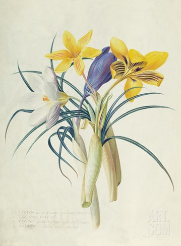 Study of Four Species of Crocus Stretched Canvas Print