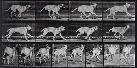 Running Dog, Plate 707 from 'Animal Locomotion', 1887 (B/W Photo) Stretched Canvas Print