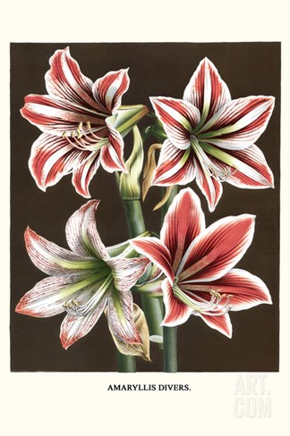 Amaryllis Stretched Canvas Print