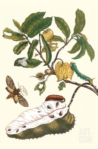 Custard Apple and Flower Moth Stretched Canvas Print