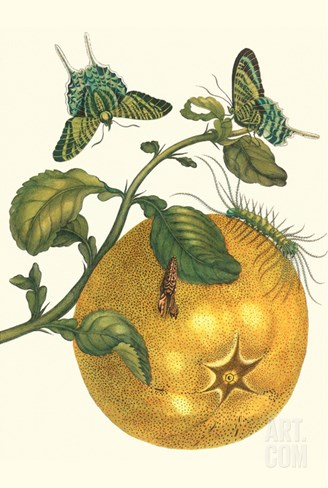 Pomelo Fruit with Urania Moth Stretched Canvas Print