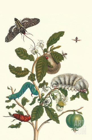 Guava and Tobacco Hornworm and a Podalia Moth Stretched Canvas Print
