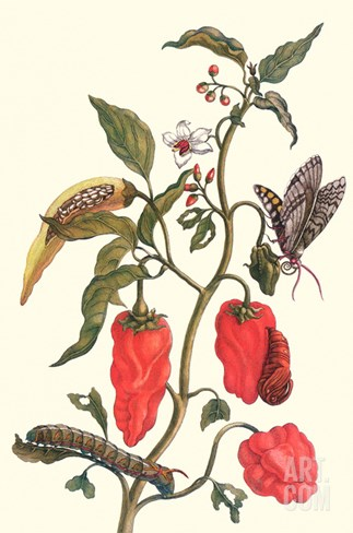 Cherry Pepper and Tobacco Hornworm with Five Spotted Hawkmoth Stretched Canvas Print
