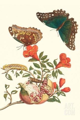 Pomegranate and Butterflies Stretched Canvas Print