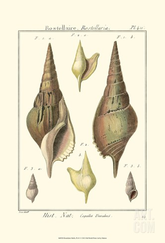 Rostellaire Shells, Pl. 411 Stretched Canvas Print