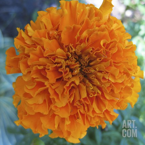 Marigold III Stretched Canvas Print