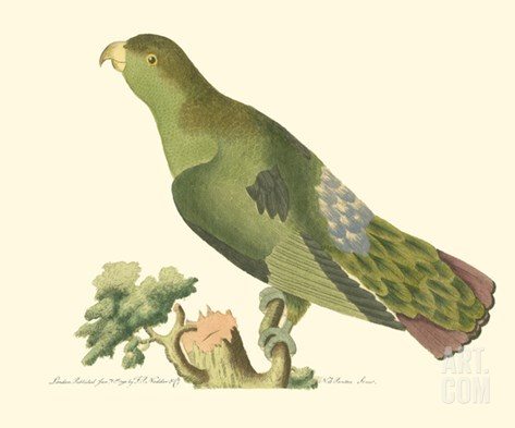 Purple-Tailed Parakeet Stretched Canvas Print