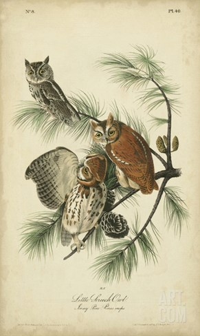 Audubon Screech Owl Stretched Canvas Print